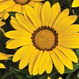 Биг Кисс F1 желтый семена газании (Syngenta)