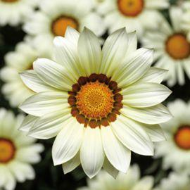 Биг Кисс F1 белый семена газании (Syngenta)