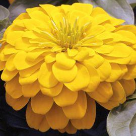 Магелан F1 желтый семена циннии низкорослой дражированные (Syngenta)