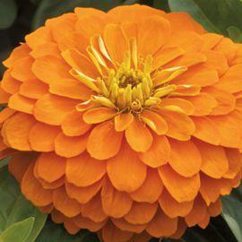 Магелан F1 оранжевый семена циннии низкорослой дражированные (Syngenta)