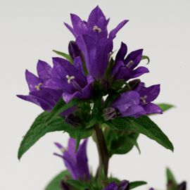 Бельфльор синий семена колокольчика (Syngenta)