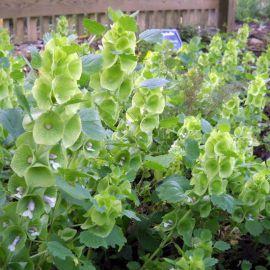 Колокольчик ирландский (Молюцелла) семена (Hem Zaden ПН)