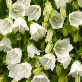 Свингинг Беллс белый семена колокольчика (Syngenta)