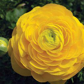Меджик F1 желтый семена ранунклюса азиатского дражированные (Syngenta)