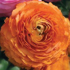 Меджик F1 оранжевый семена ранунклюса азиатского дражированные (Syngenta)