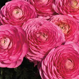 Меджик F1 розовый семена ранунклюса азиатского (Syngenta)