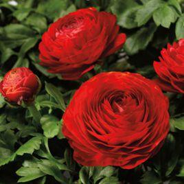 Меджик F1 красный семена ранунклюса дражированные (Syngenta)