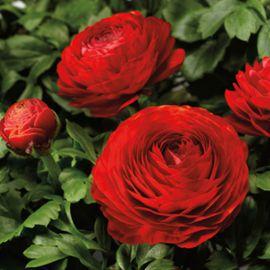 Меджик F1 красный семена ранунклюса азиатского дражированные (Syngenta)