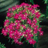 Лобелия Ривьера темно-розовая (Pan American)