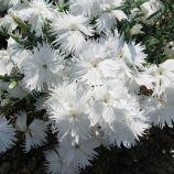 Супра F1 белая семена гвоздики межвидовой (Hem Genetics)