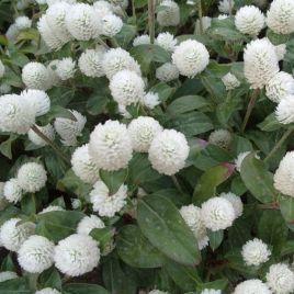 Будди белая семена гомфрены (Benary)