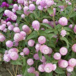 Будди розовая семена гомфрены (Benary)
