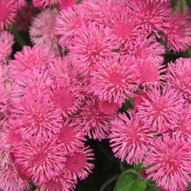 Розовый шар семена агератума однол. (Hem Zaden) НЕТ СЕМЯН