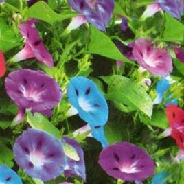 Ипомея трехцветная семена однол. (Moravoseed)