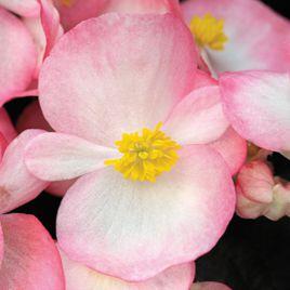 Бада Бум F1 розовый биколор семена бегонии (Syngenta)