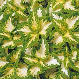 Визард джейд семена колеуса (Pan American)