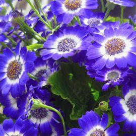 Венеция F1 синяя с ободком семена перикаллиса (Syngenta)