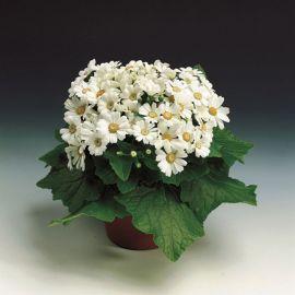 Венеция F1 белая семена перикаллиса (Syngenta)