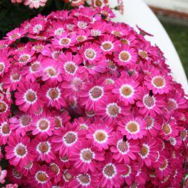 Венеция F1 розовая с ободком семена перикаллиса (Syngenta)