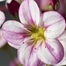 Хайлендер розовый с прожилками семена камнеломки (Syngenta)