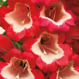 Арабеске F1 красный семена пенстемона хартвига (Syngenta)