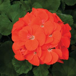 Маверик F1 оранжевый семена пеларгонии (Syngenta)