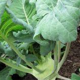 Титан семена капусты кольраби (Элитный ряд)