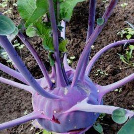 Красно-фиолет семена капусты кольраби (Элитный ряд)
