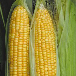 Нектар F1 семена кукурузы суперсладкой ранней (Элитный ряд)