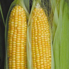 Нектар-1 F1 семена кукурузы суперсладкой Sh2 ранней (Элитный ряд)