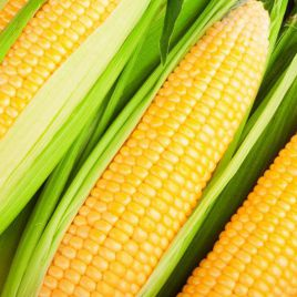 кукуруза порумбени-198 f1