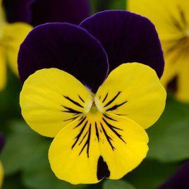 Сорбет F1 желто-фиолетовый семена виолы (Pan American)