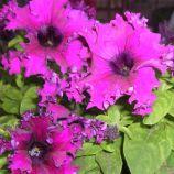 Петуния Кобаяши Rose (розовый)