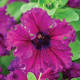 Кобаяши Руби (Ruby) семена петунии крупноцветковой дражированные (Kitano Seeds)