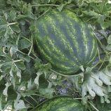 Хилон F1 (141-172) семена арбуза тип кр.св. раннего 60-62 дн. 8-11 кг овал. (Yuksel)