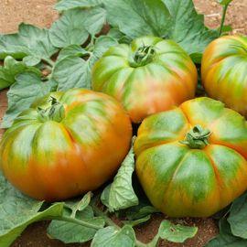 Еллоу Кой F1 семена томата индет. тип Марманде 300-320г желт. (Yuksel)