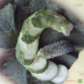 семена огурца талия f1