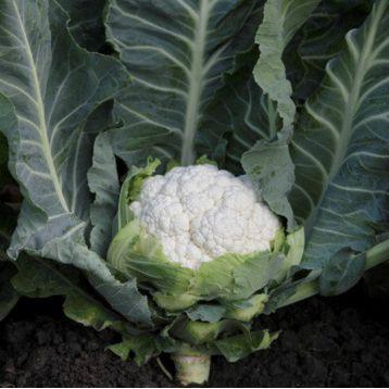 Солистар F1 (Солис Стар F1) семена капусты цветной ранней 55-58 дн. 1,5-2 кг бел. (Syngenta)