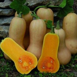 Арахисовое масло семена тыквы мускатной ранней 90-100 дн. 4-5 кг (Servise plus (GSN) СДБ)