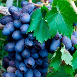 Байконур саженец винограда среднераннего вегет. кр.фиол. 0,5-1кг 12-15г гармон. до -23 НЕТ ТОВАРА