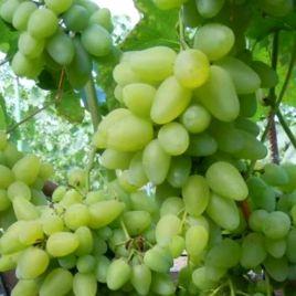 Бажена саженец винограда сверхраннего бел. 0,7-1,5кг 10-14г гармон. до -21