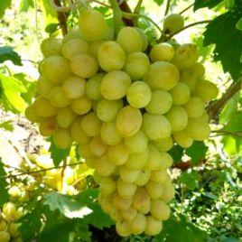 Благовест саженец винограда раннего янт.бел. 1-1,5кг 7-12г мускат. до -24