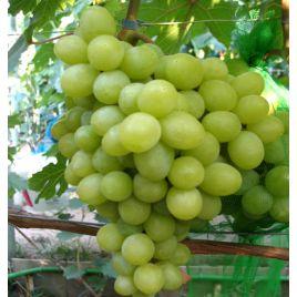 Валек саженец винограда раннего желт. 1-1,8кг 10-18г мускат.дюш. до -24