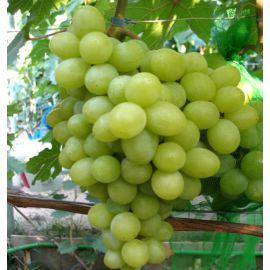 Валек саженец винограда раннего желт. 1-1,8кг 10-18г мускат.дюш. до -24 НЕТ ТОВАРА