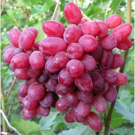 Велес кишмиш саженец винограда сверхраннего роз. 0,5-2,0кг 5-8г мускат. до -21