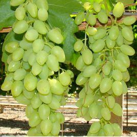 Долгожданный саженец винограда раннего бел. 0,8-1,5кг 8-11г гармон. до -23