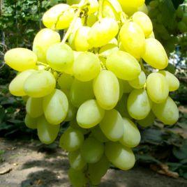 Ландыш саженец винограда среднего бел. 0,8-1,5кг 10-16г л.мускат. до -21
