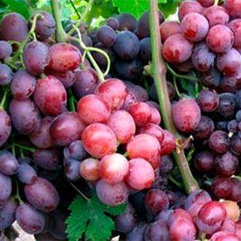 Заря Несветая саженец винограда сверхраннего темн.красн. 0,7-1,2кг 12-14г мускат. до -23