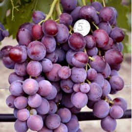 Заря Несветая саженец винограда сверхраннего темн.красн. 0,7-1,2кг 12-14г мускат. до -23 НЕТ ТОВАРА