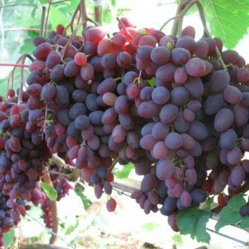 Запорожский кишмиш саженец винограда раннего красн.фиол. 0,5-1,5кг 2-4г гармон. до -28